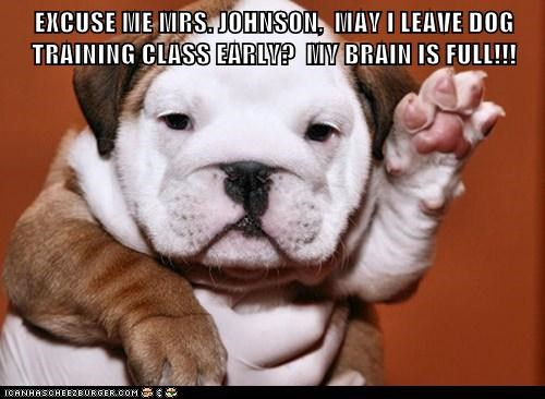brains bulldog captions class dogs hand raised learning my brain is full puppy question school teacher