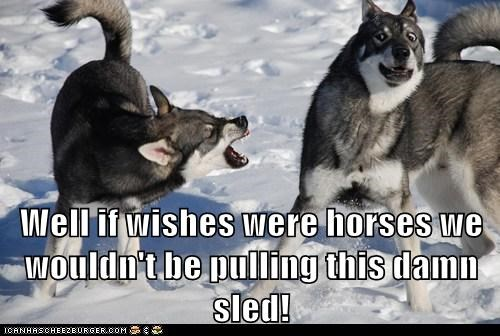 dogs growling husky sled dog snow