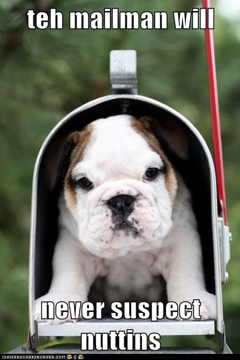 bulldog,dogs,mailbox,mailman,puppy,trap