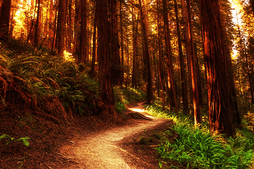california,Forest,redwood,trail,trees