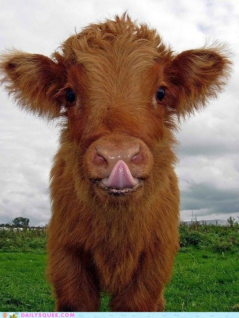 cow,Fluffy,furry,nose,tongue