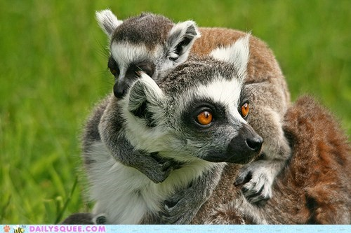 baby lemur mommy monkey piggy-back ride - 6283492096