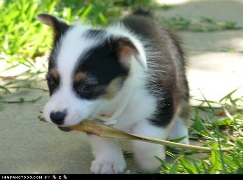 corgi cyoot puppy ob teh day grass puppy - 6283973632