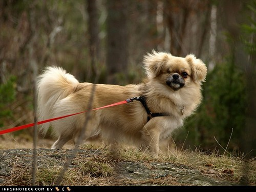 dogs,face off,goggie ob teh week,tibetan spaniel