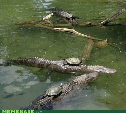 turtles crocodiles alligators animals yolo