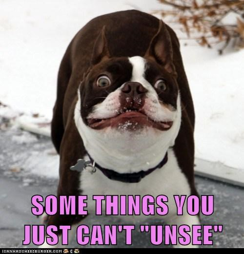 boston terrier cant-unsee derp dogs - 6286549248