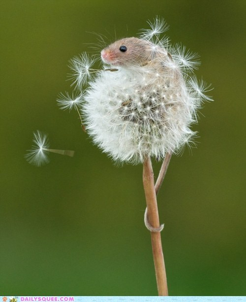 dandelion floating Flower Hall of Fame mouse rodent squee tail