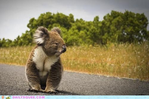 crossing the street Fluffy koala marsupial
