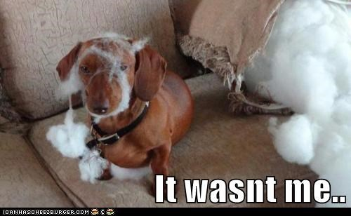 dogs,pillows,in trouble,mess,wasnt me,dachshunds