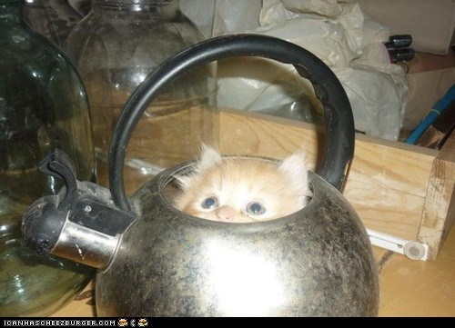Cats,cyoot kitteh of teh day,hiding,kitten,tea,tea pot