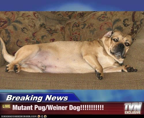 Breaking News Mutant Pugweiner Dog I Has A Hotdog