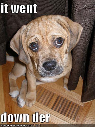 beagle mixed breed pug puppy - 629299456