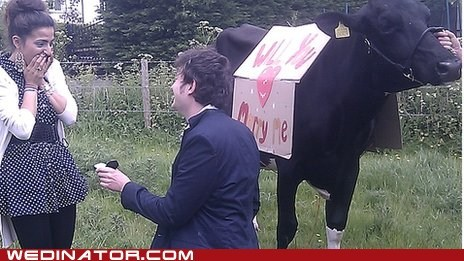 cows,england,funny wedding photos,proposal