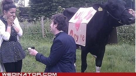 cows england funny wedding photos proposal - 6294207744