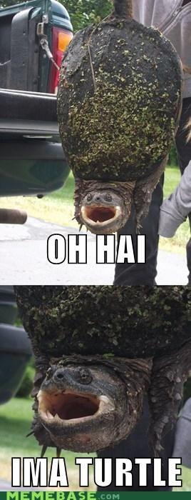animal Memes oh hai turtle - 6294777856