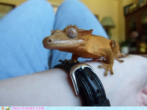 gecko lizard pet reader squee