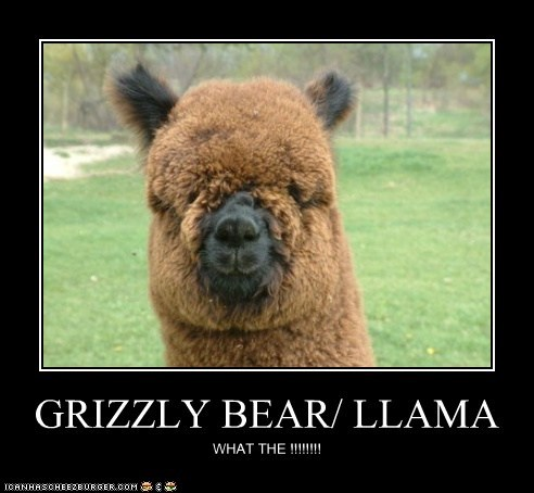 GRIZZLY BEAR/ LLAMA WHAT THE !!!!!!!!