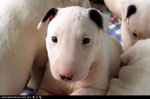 bull terrier goggie ob teh week puppy spots winner - 6296521216