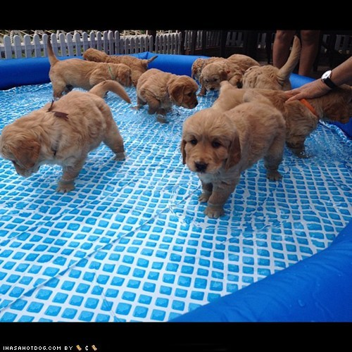 cyoot puppy ob teh day,golden retriever,pool,puppies