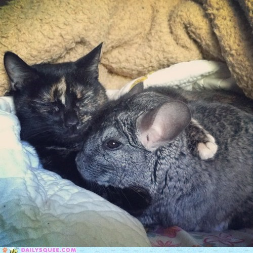 cat chinchilla cuddle hug Interspecies Love