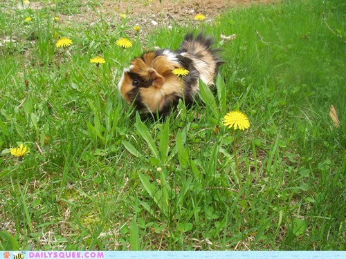 dandelion,guinea pig,outside,pet,reader squee