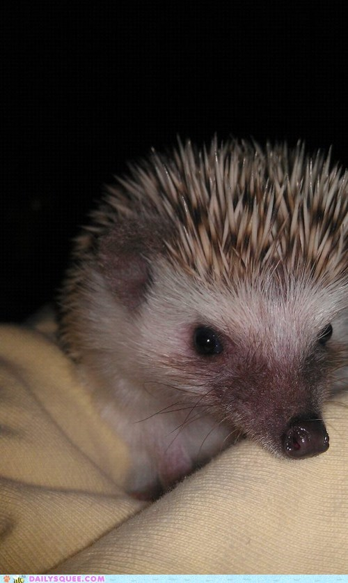 close up hedgehog pet Pillow pose reader squee - 6298866176