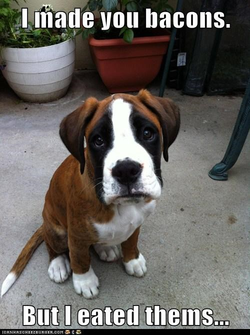 i eated it puppies oops sad dog boxer bacon - 6300080128
