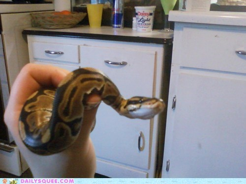 ball python,pet,reader squee,snake