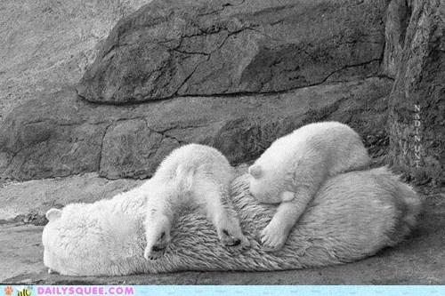 bear cub cuddle puddle nap time polar bear squee - 6300321024