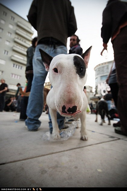 bull terrier,close up,dogs,goggie ob teh week