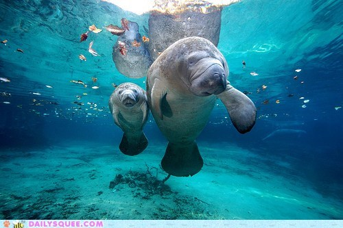 manatees,squee spree,swimming,underwater