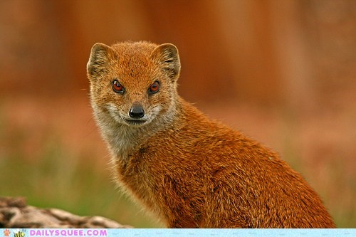 carnivore evil mongoose orange red eyes