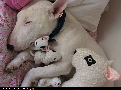 bull terrier,cuddles,goggie ob teh week,stuffed animals