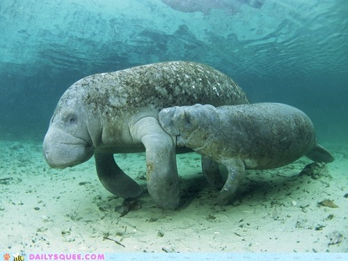 baby manatee manatees mommy moms nom squee squee spree swimming - 6304590848
