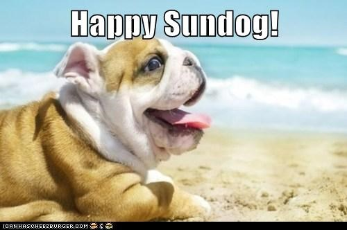 beach bulldog happy sundog ocean puppy - 6305128448
