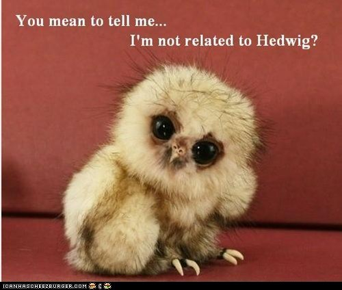 cute Harry Potter hedwig memebase owlets owls squee - 6307544832