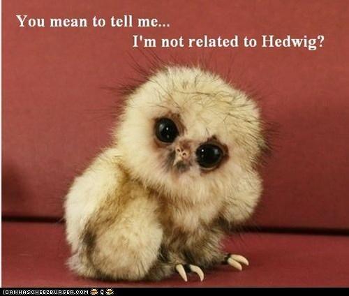 cute Harry Potter hedwig memebase owlets owls squee - 6307544832