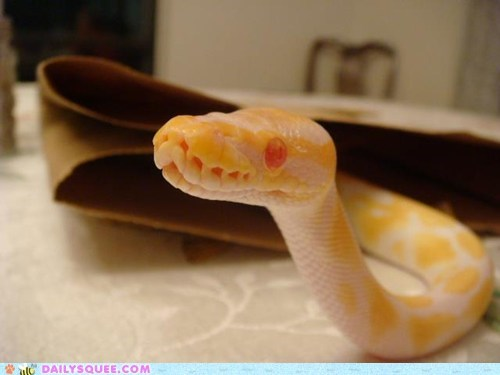 albino pet python reader squee red eyes snake - 6307788800