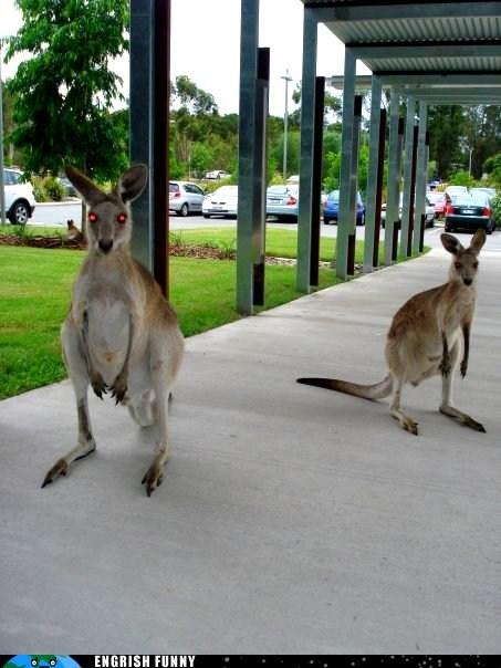 australia kangaroos zombie kangaroos - 6308011520