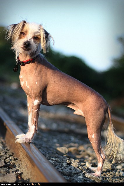 Chinese Crested Dog dogs face off goggie ob teh week - 6308037888