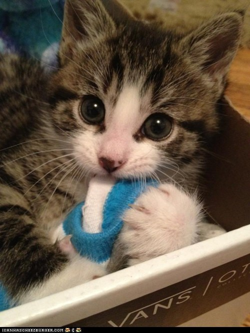 big eyes,Cats,chewing,cyoot kitteh of teh day,kitten,noms,shoebox,socks