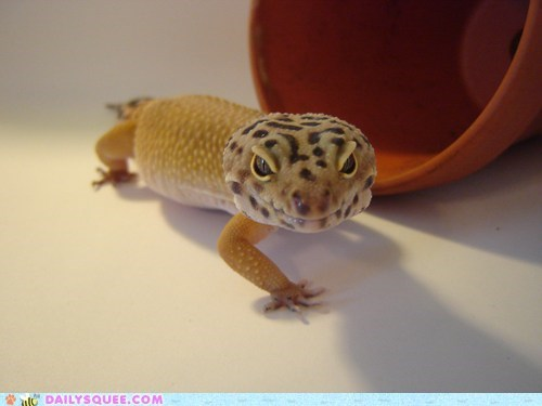 gecko lizard pet pose reader squee - 6309137920