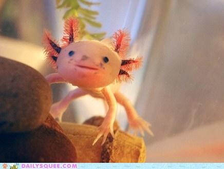 amphibian amphibians antennae axolotl creepicute Hall of Fame squee strange swmming - 6310759936