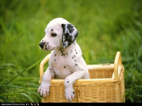 basket cyoot puppy of teh day dalmatian spots