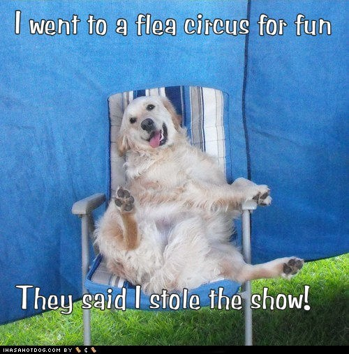 bad jo,crazy,dogs,fleas,golden retriever,lawn chair,pun-off