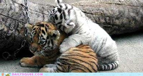 Baby Big Cat Cuddles Hall Of Fame Tiger Cub Tigers