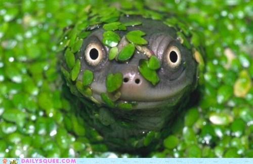 amphibian green lake lizard lizards newts turtles water wet whatsit wednesday - 6316985088