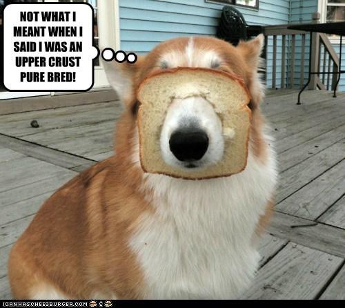 bread corgi dogs purebred - 6317464832