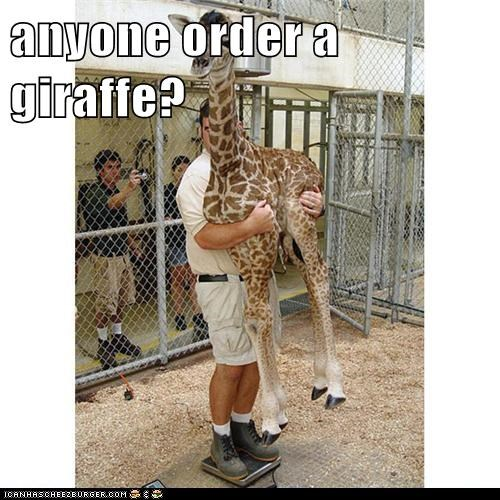 captions,carry,delivery,giraffes,holding,order,weighing