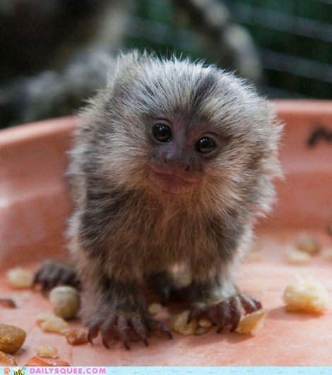 marmoset monkey squee spree tiny winner